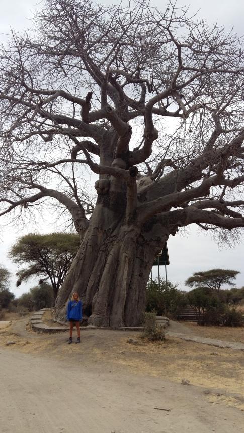 Big Baobab in Tarangire